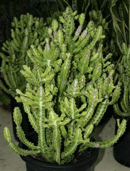 Euphorbia. viverosgonzalez.com