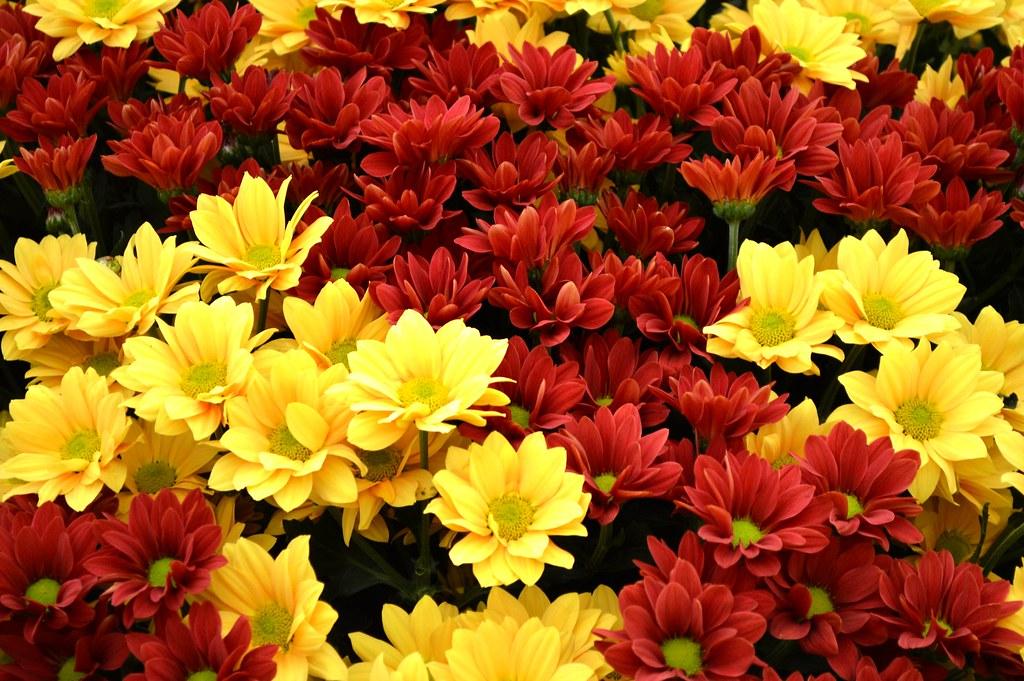 Chrysanthemum - flickr