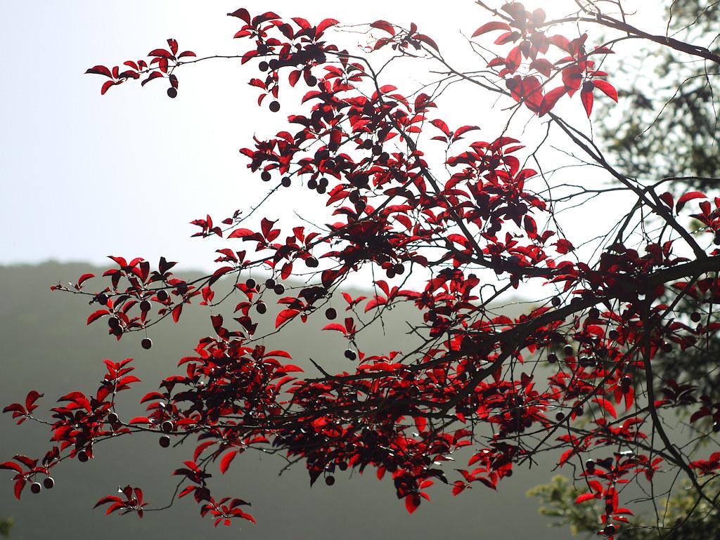 Prunus pisardii- Flickr
