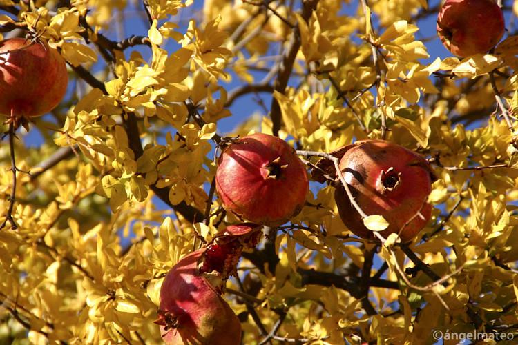 Punica granatum - Flickr